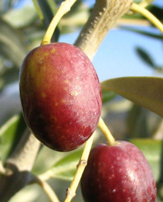 30 variétés d\'olives