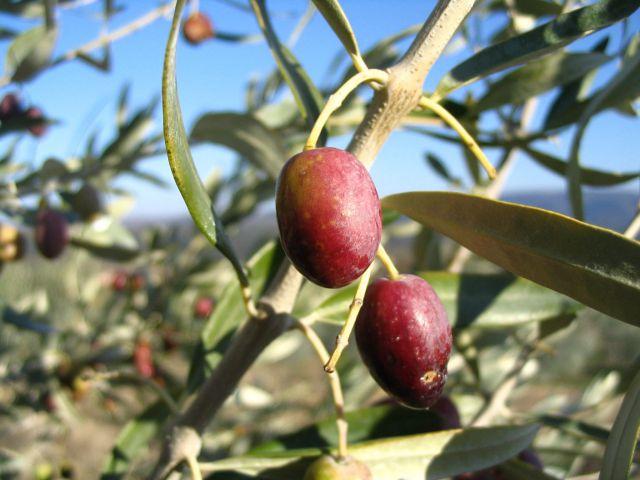 30 variétés d\'oliviers