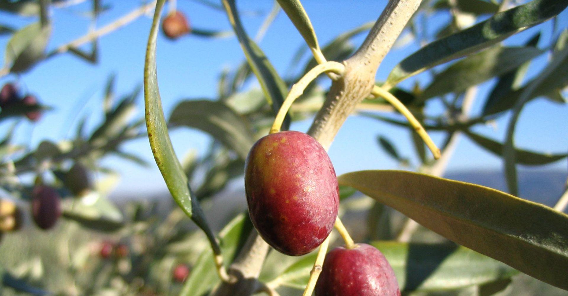 30 variétés d'oliviers